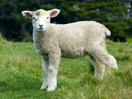 Tips for Raising Sheep in A Small Farmland